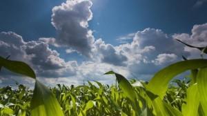 GMO kukuričné polia- www.organicshop.sk