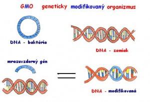 GMO Zemiak